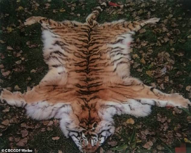 Chinese wild animal shelter 'secretly sells the fur of endangered tigers for £79K per piece, uses their bones to make a sex tonic and serves their meat as a delicacy to officials'