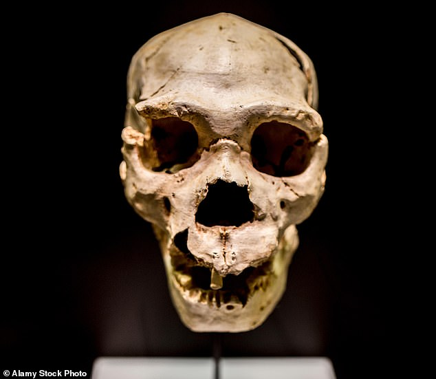 Scientists argued that signs of damage in the bones are the same as other animals that hibernate, concluding that our predecessors may also have hibernated. Pictured: The most complete skull of an Homo heidelbergensis found at Atapuerta, Sima de los Huesos