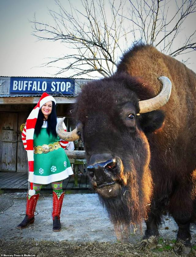 The big bison gets his own presents, holiday accessories and even sits with his owners for Christmas dinner at the table