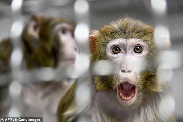 In all, 27 primates at the Ames Research Center in Mountain View, California, were euthanized on February 2, 2019 (stock)