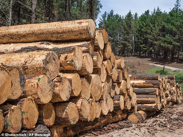 China last week suspended timber imports from NSW and WA after finding pests in cargo. Pictured: timber logs from a mill in Oberon in NSW