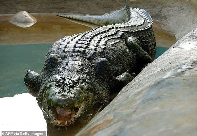 Lolong, the largest known crocodile kept in captivity who died in 2013. Lolong was 6.17m long
