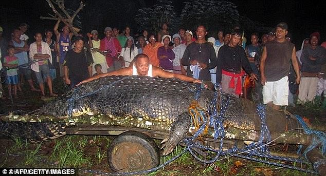 Professor Grahame Webb said crocodiles are bigger in the warmer waters near the equator. Pictured: a 6.4m crocodile suspected of eating a farmer caught in the Philippines, 2011