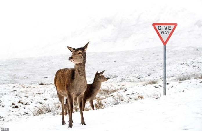 Red deer stand in the snow in Glence, Scotland, after much of the country was blanketed on Sunday in the wake of Storm Bella