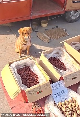 Seven-month-old Da Huang was said to be helping his owner look after their red dates and walnuts at the bazaar in China earlier this month