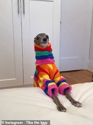 Roll-neck vibes: The couture-loving canine in an on-trend rainbow jumper