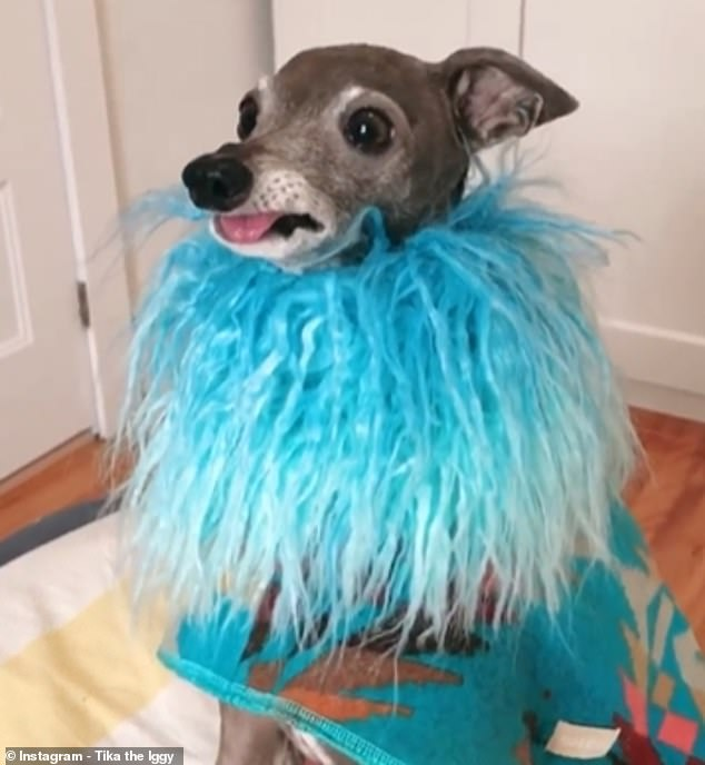 Blue is the colour - Tika's ensembles for next year include this feathery number. One of her two dads, Thomas, said Tika, who's almost ten, loves the attention
