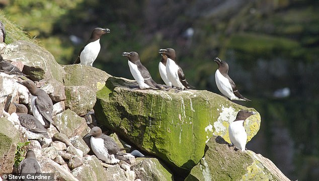 Guillemots and razorbills.Guillemots are a browner, chocolate colour, whereas razorbills are a blacker brown