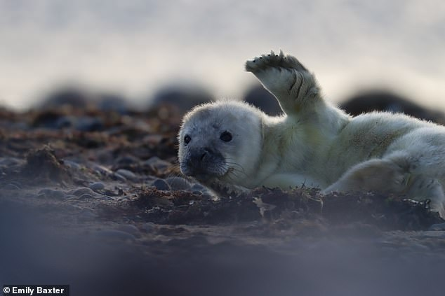 This photo shows an adorable grey seal pup giving a wave at South Walney Nature Reserve, which is home to the only grey seal colony in Cumbria