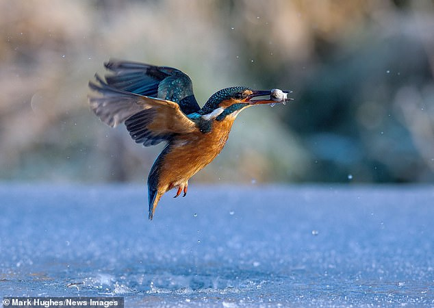 The beautiful bird emerged with the fish in her beak and showed off her incredible blue feathers