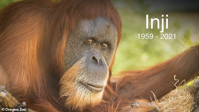 Inji came to Oregon Zoo when she was around one year old on January 30, 1961, and lived there for the rest of her life