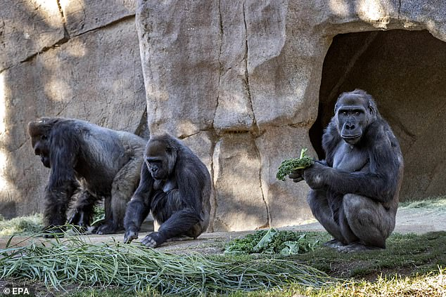 This is the first known case of natural transmission to great apes and it is not known if they will have a serious reaction