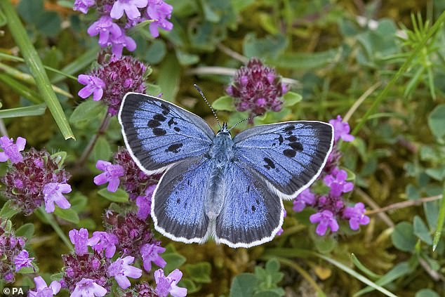 Experts remain hopeful for the recovery of the British butterfly, should their natural habitats be restored. For example, the Large Blue (pictured) was successful reintroduced in 1992
