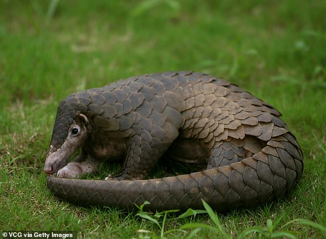 Pangolins are heavily-trafficked scaly anteater-like creatures, which have been blamed for transmitting the virus from bats to humans