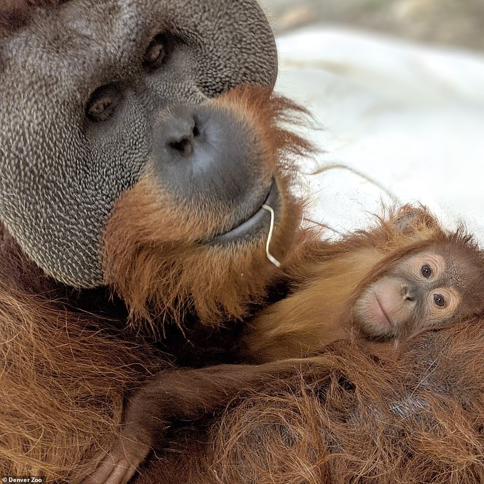 Denver zoo male orangutan cares for daughter after mother died