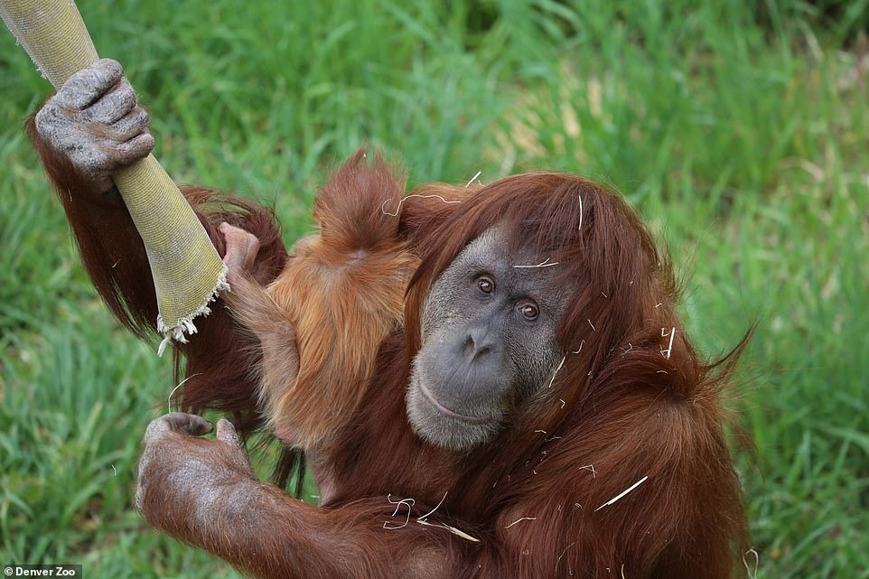 In a Facebook post on December 21, zookeepers wrote that Nias (pictured with Cerah) arrived in November 2005 when she was 17 years old 'and spent the last 15 years delighting guests and serving as an ambassador for her critically-endangered species'