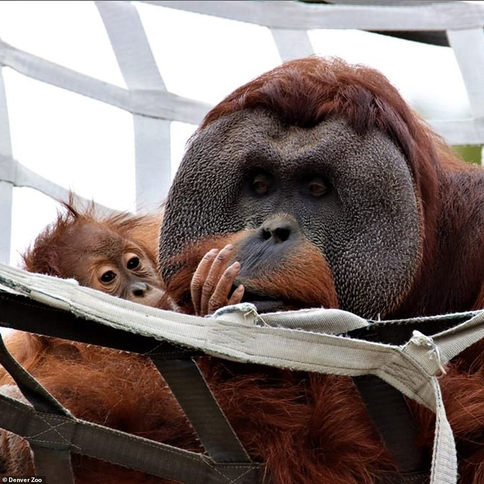 'In the wild, orangutan males are not involved with their offspring. To see Berani step up as Mr. Mom, is an extremely rare situation—and Cerah couldn't have asked for a better dad,' zookeepers wrote in the Facebook post