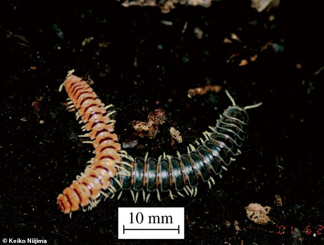 The millipedes spend seven years in the soil, growing from egg to adult, and then another to mature, before bursting to the surface with thousands of their broodmates