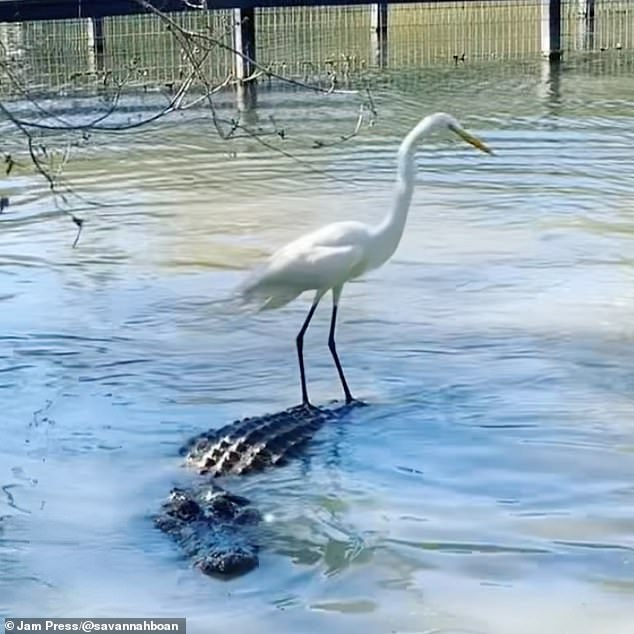 A fearless heron snagged a ride on the back of an alligator at Gatorland, in Florida, with the predator seemingly unbothered by its new travel companion
