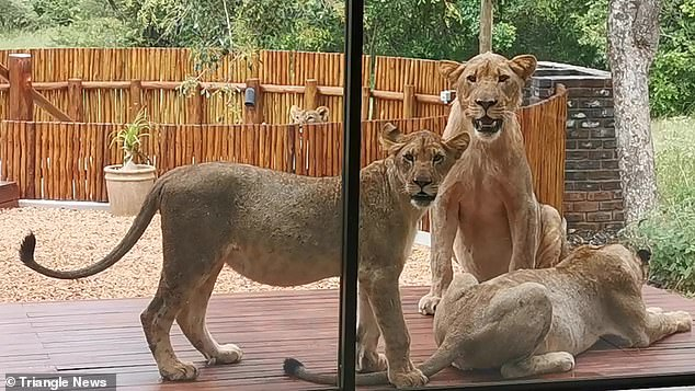 A couple in South Africa were greeted by some unexpected visitors when they went to check on a property and found a family of lions sunning themselves on the deck