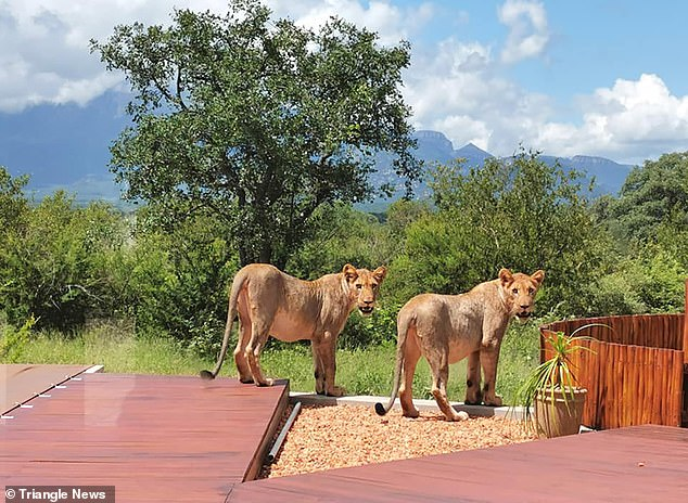 The squatter lions didn't seem phased by the couple at first but eventually padded off into the garden in the town of Hoedspruit
