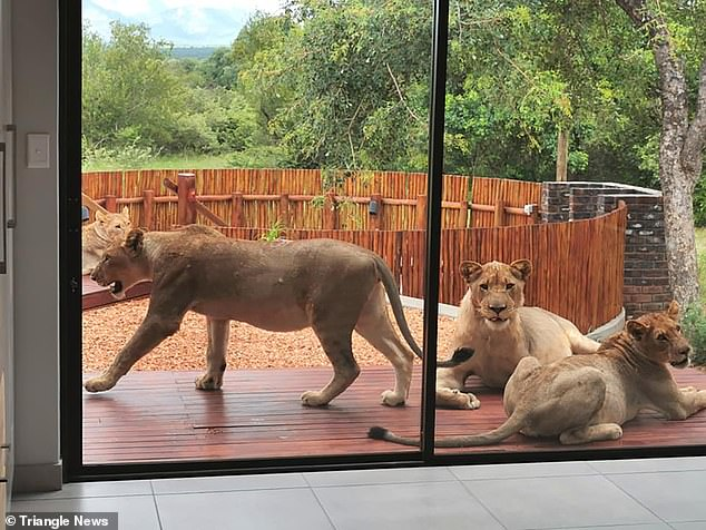 Footage shared on social media drew admiring comments from users envious of the couple's close encounter with the big cats