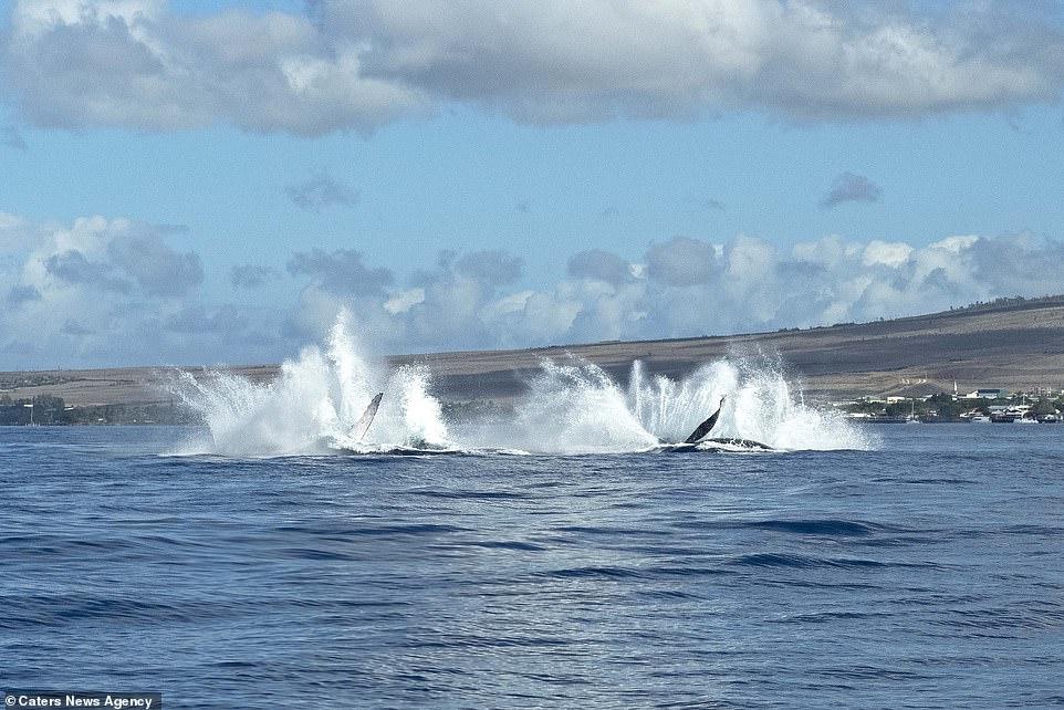 Humpback whales synchronised splashing back into the sea