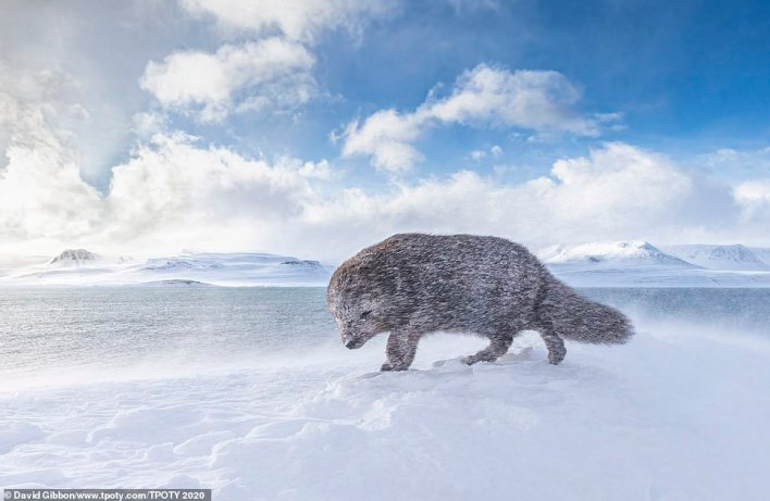 David Gibbon received a special mention for this mesmerising picture of an Arctic fox struggling against strong winds in north-west Iceland