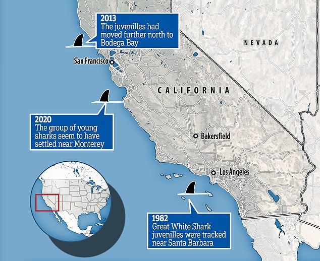 They found that following a marine heatwave in 2014, the sharks shifted from Santa Barbara, California to the more northernly Bodega Bay to seek cooler water