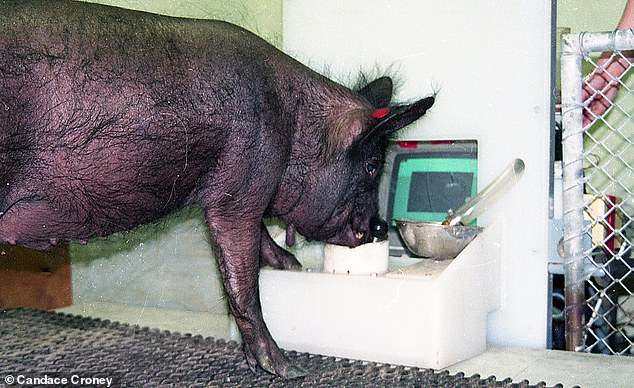 In the study, Professor Croney and colleagues worked with two Yorkshire pigs named Hamlet and Omelette, and two Panepinto micro pigs, Ebony (pictured) and Ivory
