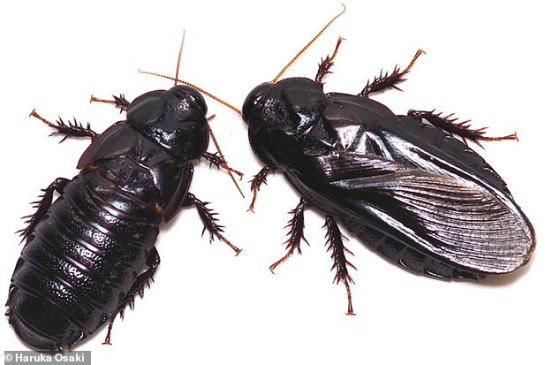 Adult Salganea taiwanensis before (right) and after (left) wing-eating behavior.  The right person has long full wings.  The left person has short wings.  Most of its wings are eaten by a companion