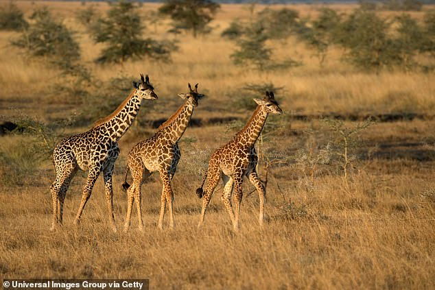 Female Masai giraffes in Tanzania form bonds with large numbers of other cows, according to researchers. Those relationships help them find the best food sources, release stress and fend off amorous males
