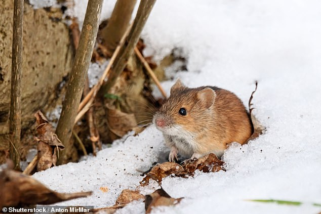 Thirty-one striped field mice were captured from the wild as part of the study; 14 mice came from Berlin and 17 from the countryside