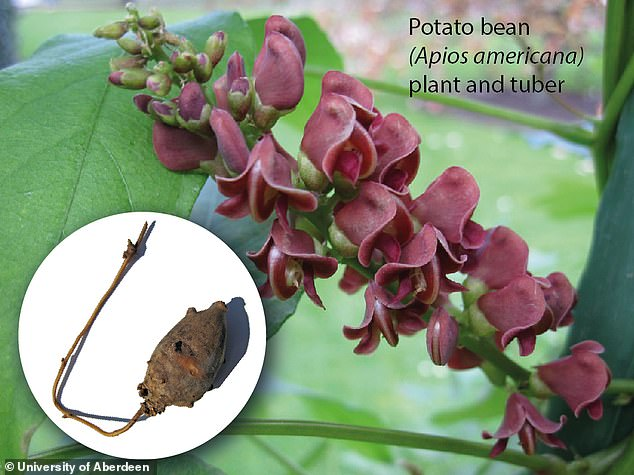 The potato bean (pictured main, the plant; inset, the tuber), known scientifically as Apios Americana, and also called cinnamon vine and ground nut is commonly seen in Florida, Texas and Colorado