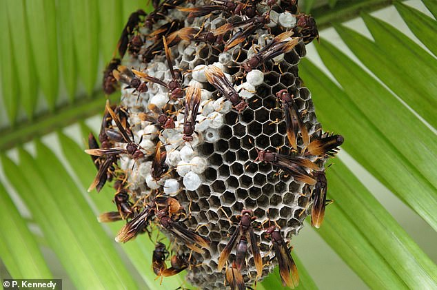 In what experts have called a 'surprising act of selflessness', some wasp colonies lend their spare workers to babysit in neighbouring nests, a study has found. Pictured, a paper wasp nest