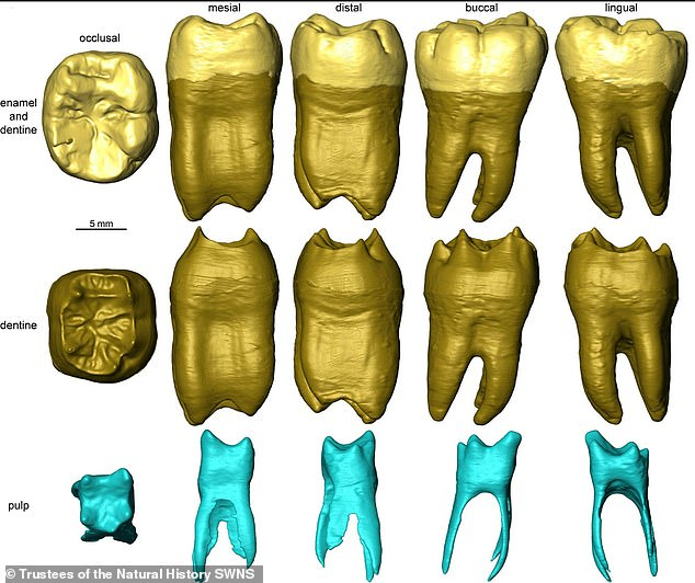 Experts were able to determine the tooth belonged to a Neanderthal aged between seven and 12, raising questions about the history of hominin occupation of the area