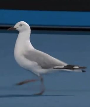 One seagull was seen nonchalantly walking around on the court