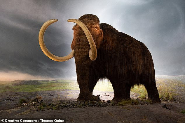 'Humans also aren't completely off the hook, as it remains possible that they played a more nuanced role in the megafauna extinctions than simple overkill models suggest,' the archaeologist concluded. Pictured: an artist's model of a woolly mammoth