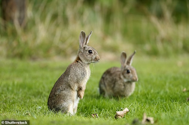 European rabbit (Oryctolagus cuniculus). Researchers say in their paper: 'Our results also implicate the common hedgehog (Erinaceus europaeus), the European rabbit (Oryctolagus cuniculus) and the domestic cat (Felis catus) as predicted hosts for SARS-CoV-2'