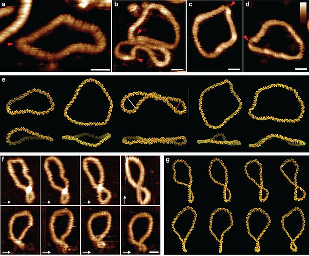 These exotic dance-moves were found to be the key to finding binding partners for the DNA, as when they adopt a wider range of shapes, then a greater variety of other molecules find it attractive