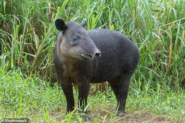 Baird's Tapir, pictured here in Cloud Forest, Costa Rica. The unusual-looking animal inhabits forests and wetlands from Mexico to Colombia