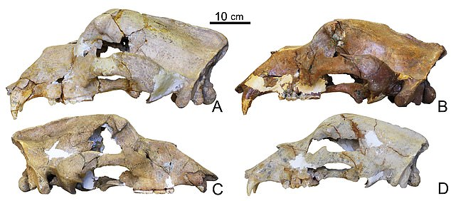 Researchers from Nottingham Trent University studied the skull of the Georgian cave bear and found DNA in its petrous bone which contains and protects the inner ear. The petrous bone is known to be almost impervious to contamination and therefore is often the best place to look for intact genetic material in very old fossils