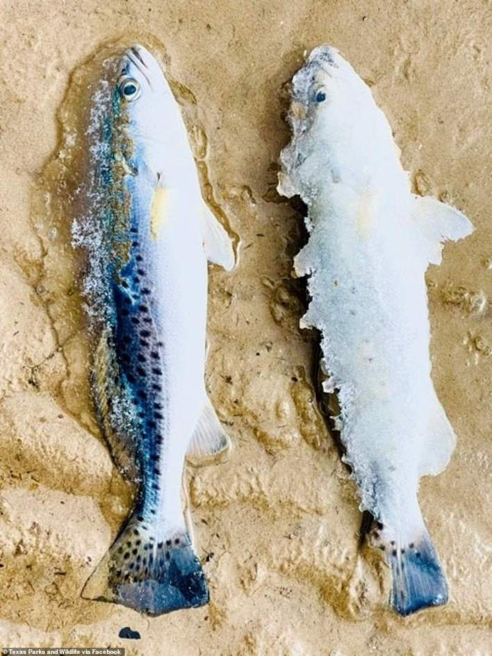 Texas Parks and Wildlife posted this image of frozen fish washed ashore in Carancahua Bay near Palacios