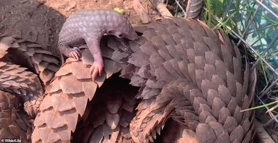 Pictured, a female pangolin gave birth just one day after being rescued from the market and both mother and baby were nurtured to full health