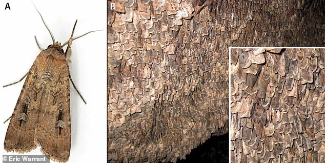 According to oral tradition, native Australians climbed the mountains to harvest Bogong moths from cave walls. They would use sticks to scrape the insects, then in their dormant phase, into their nets