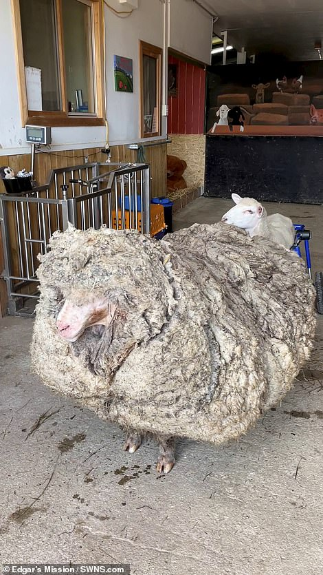 Domestication and selective breeding mean many sheep no longer shed their coats naturally, requiring humans to shear them in order to remain healthy