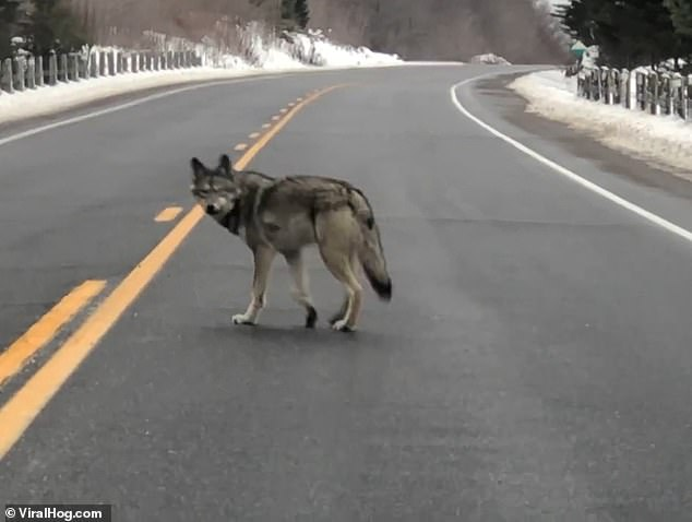 The border collie poodle named Sam barks as the alpha coywolf and his pack cross the road in Algonquin Park, Ontario, Canada