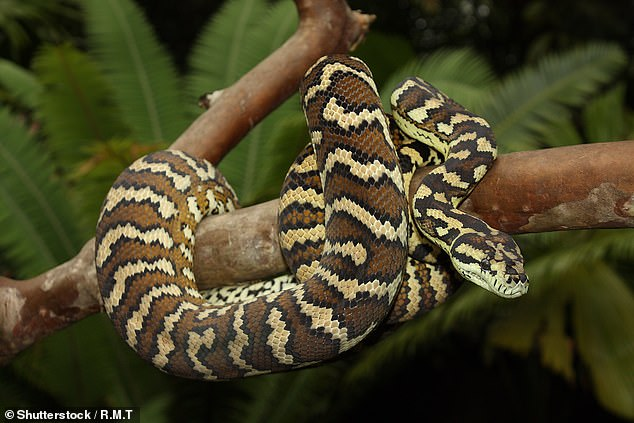 The coastal carpet python (pictured) is a non-venomous snake