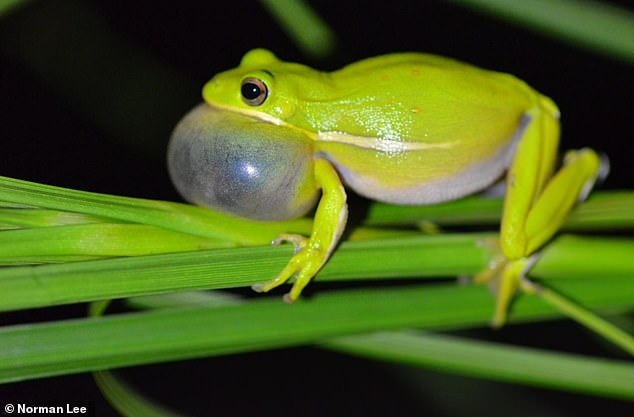 This image shows a male Green tree frog calling.To succeed in mating, many male frogs sit in one place and call to their potential mates