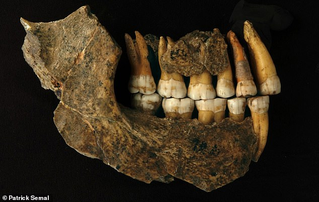 Maxilla and mandible assemblage of a late Neanderthal from Spy cave. Neanderthal remains discovered in a cave in Belgium thought to be 37,000 years old are actually thousands of years older than previous studies suggested, study shows
